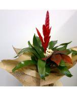 Pianta di Guzmania con vaso in ceramica