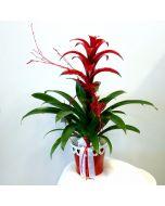 Pianta di Guzmania Lingulata con vaso in ceramica