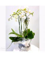 Pianta fiorita di Orchidea Phalaenopsis in vaso rivestito con lana cotta