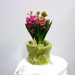 Bulbi di giacinto giallo in vaso di plastica giallo