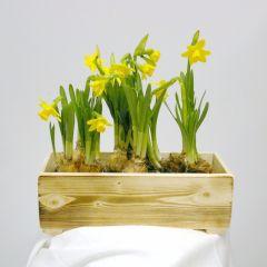 Composizione di narcisi gialli in contenitore rivestito in juta