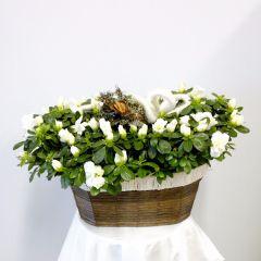 Pianta di Azalea Bianca in cesto di vimini colorato