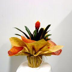 Pianta di Guzmania con vaso