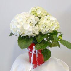 Pianta fiorita di Ortensia bianca in vaso rosso