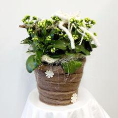 Pianta di Calancola Fiorita in cesto di vimini