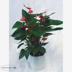 Pianta di Anthurium Rosso con vaso in ceramica