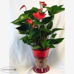 Pianta di Anthurium Rosso con vaso di vetro