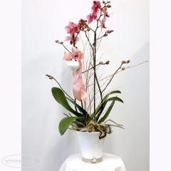 Pianta fiorita di Orchidea Phalaenopsis rosa in vaso di ceramica bianco