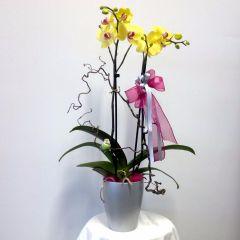Pianta fiorita di Orchidea Phalaenopsis a fiore bianco in vaso di ceramica rossa