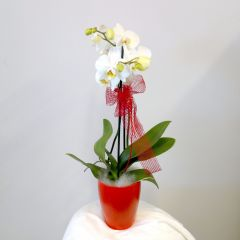 Orchidea in vaso design