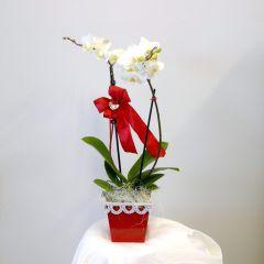 Orchidea Phalaenopsis Amabilis fiore bianco