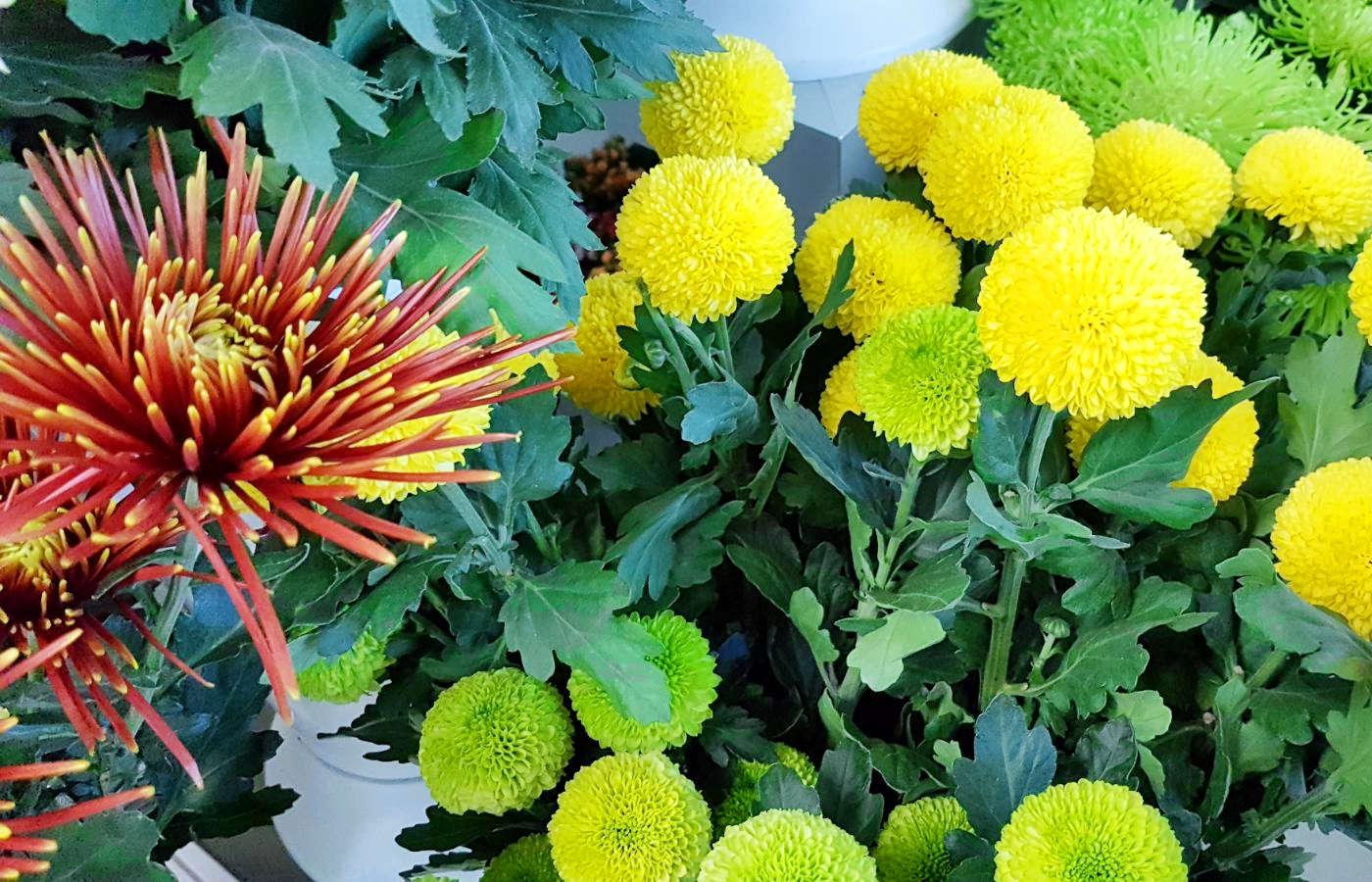 I crisantemi - Curiosità e cura dei crisantemi